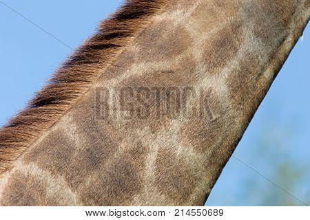 the giraffe's neck . In the park in nature