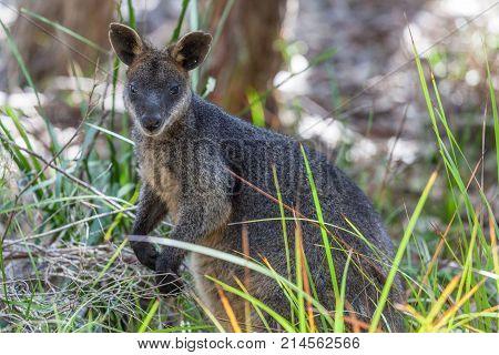 Pademelon - native Australian marsupial mammal animal