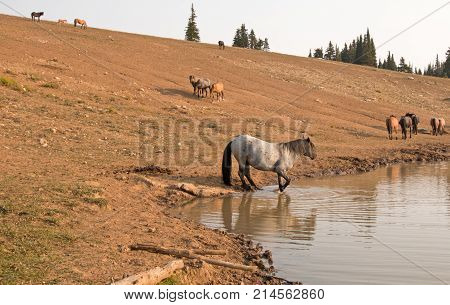 Blue Roan Stallion With Herd Of Wild Horses At The Water Hole In The Pryor Mountains Wild Horse Rang