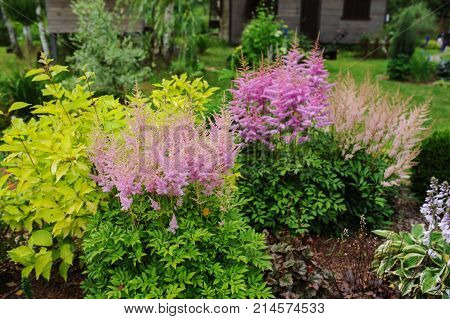 colorful blooming astilbe in summer garden in mixed border with hostas and cornus shrubs