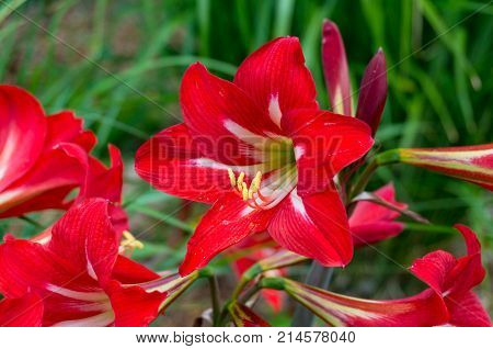 Bright Red Amaryllis Flowers