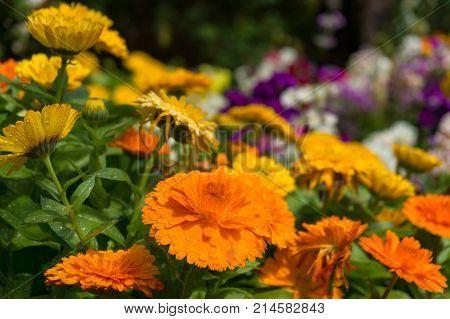 Bright Orange Calendula Flowers