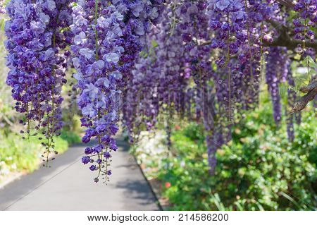 Beautiful Wysteria Flowers With Garden Alley On The Background
