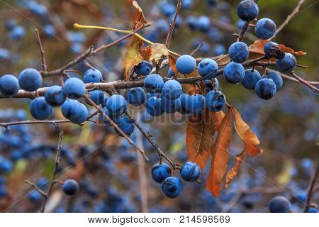 branch with ripe blue berries of the blackthorn