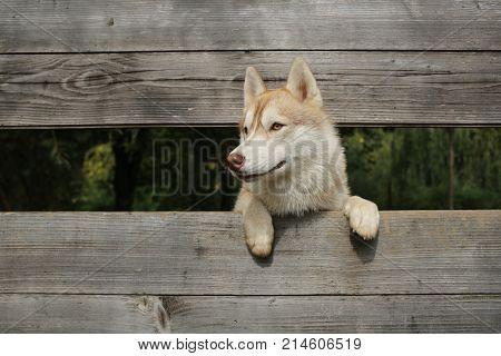 Zoo shelter farm or captivity. Pet and animal Siberian husky dog year. New year christmas xmas. Year of dog holiday celebration. Husky or wolf at wooden background copy space.