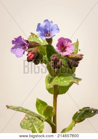 Closup Of Common Lungwort, Pulmonaria Officinalis, In Spring