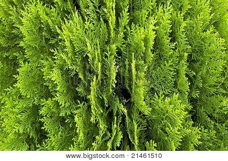 Green Leaves