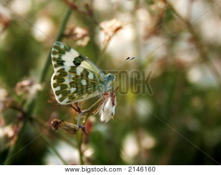 Butterfly On Flowerbed (Anthocharis Cardamines)