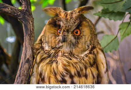 Close up of an wild European long eared owl asio otus resting in a tree