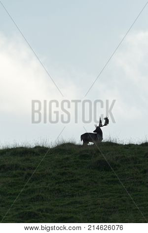 A male, buck, Fallow Deer ( Dama dama, Cervidae)  silhouetted on a hilltop during the rutting season.