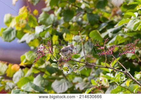 Cute female Eurasian Blackcap bird in gray with brown head perching feeding on Elderberry tree, Autumn in Austria, Europe (Sylvia atricapilla)