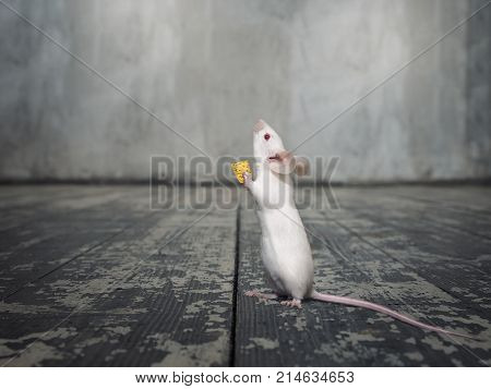 White mouse with a piece of cheese. Mouse standing on hind legs on the floor