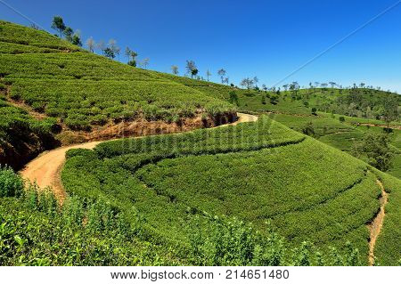 Tea Plantation in the hill country in Sri Lanka