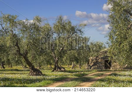 Italy landscape: Apulia countryside. Flowery field with olive trees and trullo. Typical example of rural Apulian country.