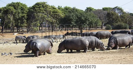 Hippos herd eating together with zebras herd