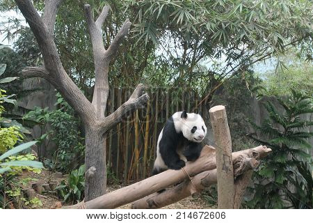 Hungry giant panda bear eating bamboo and seating on the branch