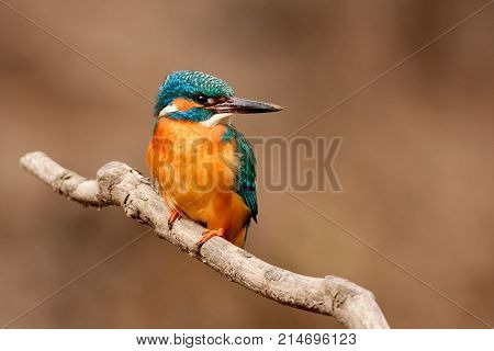 Female of Common Kingfisher (Alcedo atthis ) Bird Standing on a branch