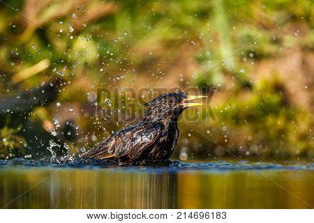 Common starling (Sturnus vulgaris) in a bird bath