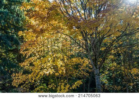 Light shines througth Autumn leaves in the Pacific Northwest.