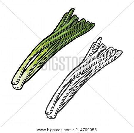 Bunch of fresh stalks onion. Vector color and black vintage engraving illustration for menu poster label. Isolated on white background