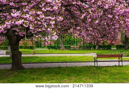 Cherry Blossom Above The Benches In The Park