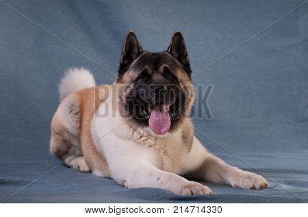 American akita dog portrait at studio on light grey background