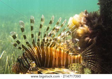 A bright fish is a lionfish at the green bottom. Pterois volitans