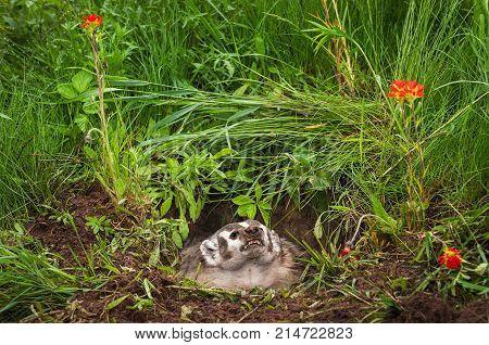 North American Badger (Taxidea taxus) Glares Upward - captive animal