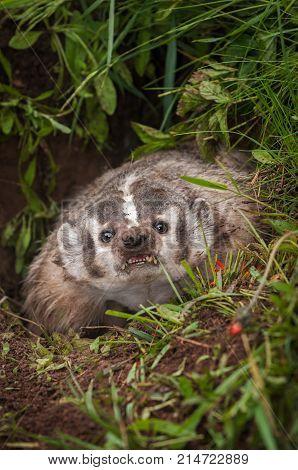 North American Badger (Taxidea taxus) Snarls Forward - captive animal
