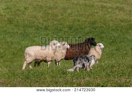 Herding Dog Walks Up on Line Sheep (Ovis aries) - at sheep dog herding trials