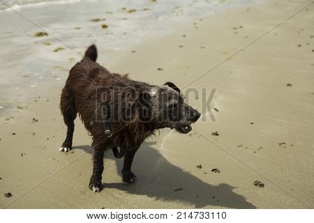 a patterdale terrior playing on the beach