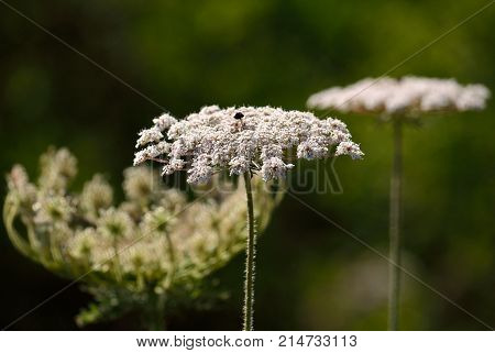 Isolated flower of wild carrot in full splendor