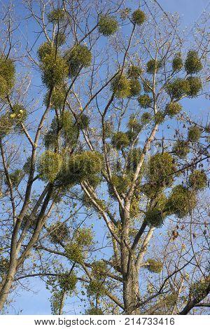 Mistletoe Parasitic Plant