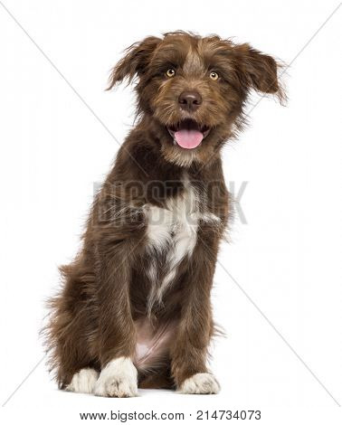 Crossbreed dog sitting and looking at camera against white background