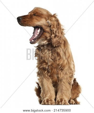 English Cocker Spaniel, 16 months old, sitting against white background