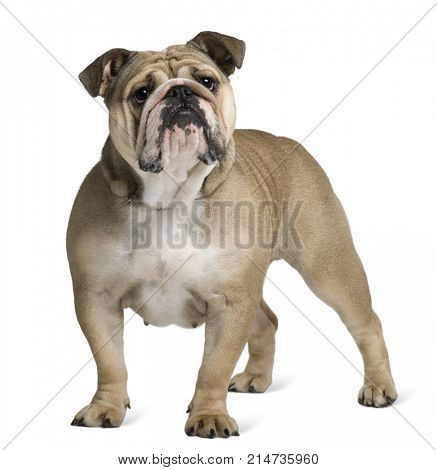 English Bulldog, 17 months old, standing in front of white background