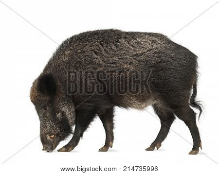 Wild boar, Sus scrofa, 15 years old, walking against white background