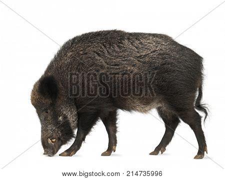 Wild boar, Sus scrofa, 15 years old, walking against white background