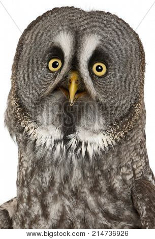 Portrait of Great Grey Owl or Lapland Owl, Strix nebulosa, a very large owl, in front of white background