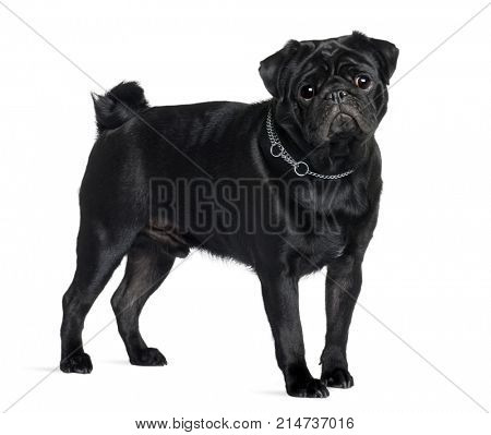 Pug, 1 year old, standing in front of white background, studio shot