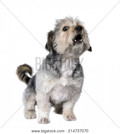 Cross Breed dog barking, 4 years old, in front of white background, studio shot