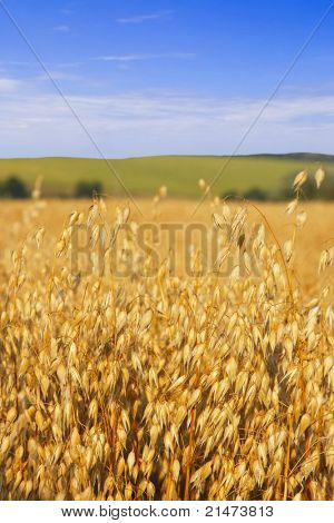 Oats in the harvest