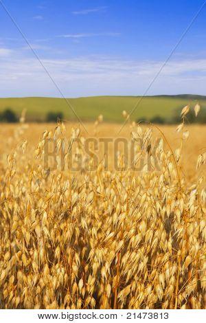 燕麦的收获