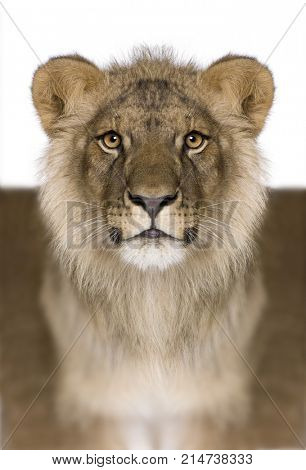 Digitally enhanced Lion, Panthera leo, 9 months old, in front of a white background, studio shot