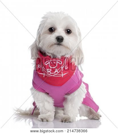 maltese dog dressed-up with a shirt (17 months old) in front of A white background