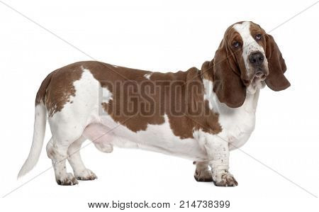 Basset Hound, 1 year old, standing in front of white background