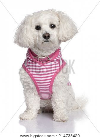 maltese dog dressed-up (3 years old) in front of A white background