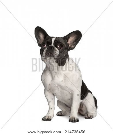 Portrait of French bulldog sitting in front of white background, studio shot