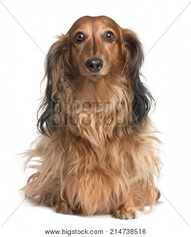 Dachshund (4 years old) in front of a white background