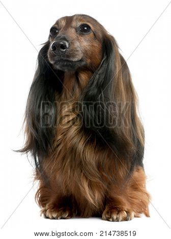 Dachshund looking away (7 years old) in front of a white background